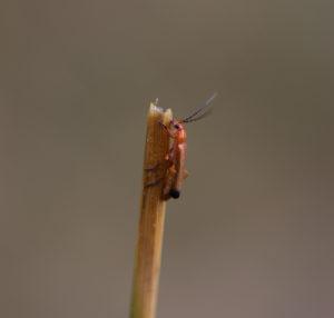 Wharf Borer Beetle